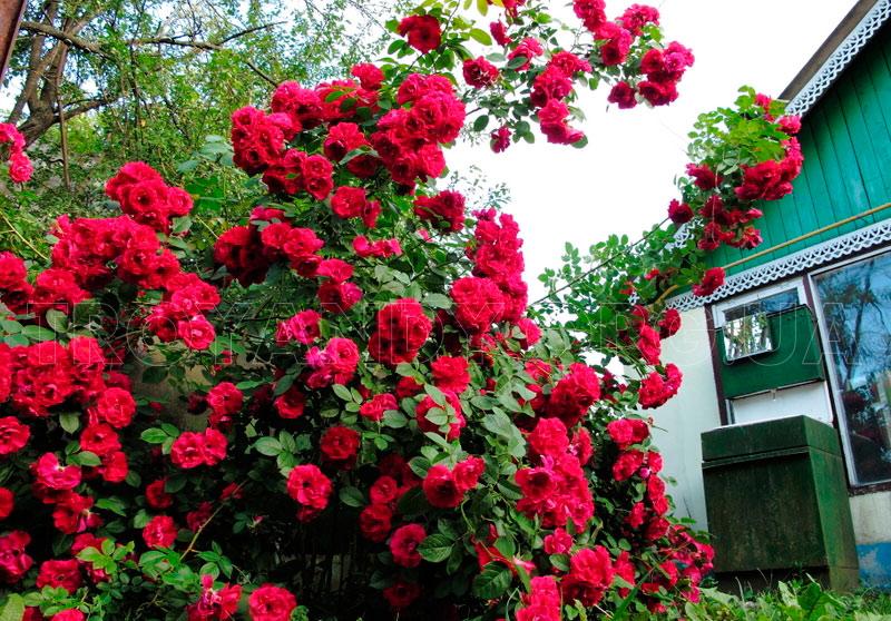 Плетистая роза Дон Жуана